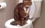 У кошки запор с кровью